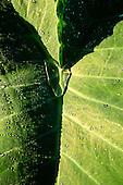 Desengano, Brazil. Drops of water on a big leaf of Sagittaria sp.