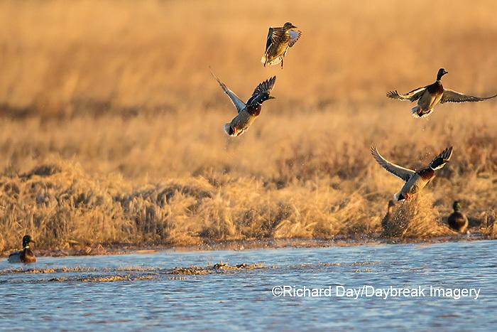 00729-02310 Mallards (Anas platyrhynchos) flying from wetland, Marion Co., IL