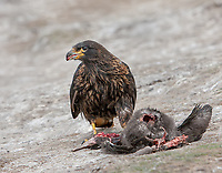 Phalcoboenus australis<br />