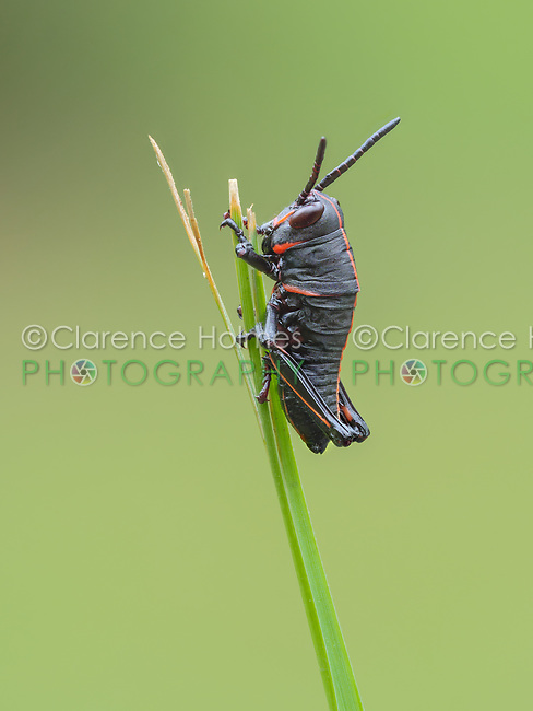 An Eastern Lubber Grasshopper (Romalea microptera) nymph (early instar) perches on a blade of grass.