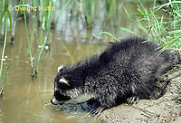 MA25-079z   Raccoon - young raccoon exploring stream - Procyon lotor