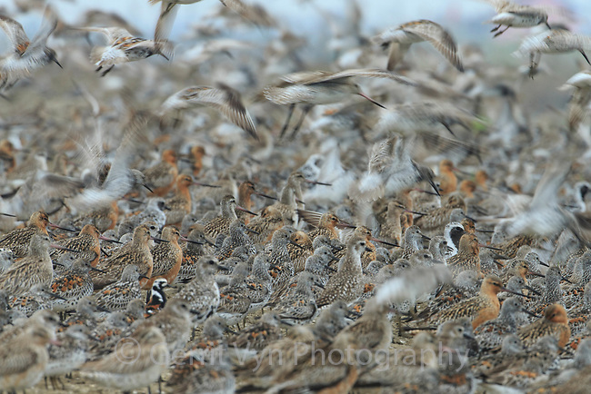 With the elimination of high tide mudflats, shorebirds are forced inland to roost exposing them to a multitude of dnagers including power lines, terrestrial predators, and pollution. They are also exposed to high levels of discturbance during periods they would normally rest. Yalu jiang, China. April.