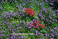 65021-02415 Half Moon Lobelia (Lobelia erinus) & Red Pentas (Pentas lanceolata)  Missouri Botanical Gardens St. Louis  MO