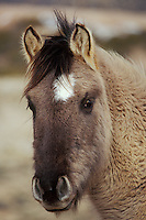 A six or seven month old wild horse colt in winter.  Western U.S..(Equus caballus)