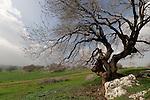Israel, the Lower Galilee. Atlantic Pistachio (Pistacia Atlantica) tree in Tivon