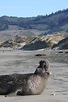 bull elephant seal at Ano Nuevo State Park
