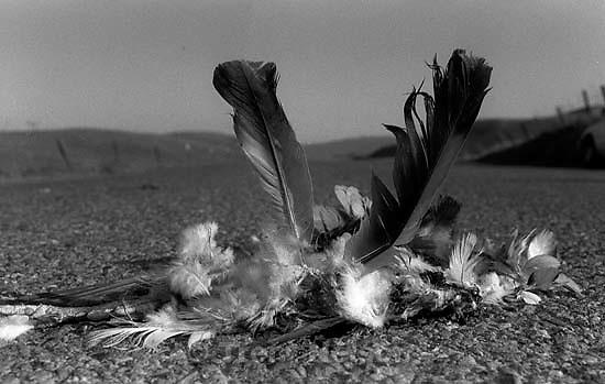 Dead bird roadkill on Dougherty Road.<br />
