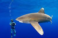 the late Jimmy Hall videotapes oceanic whitetip shark, Carcharhinus longimanus (female with mating scar) off the Kona Coast of Hawaii Island (the Big Island), Hawaiian Islands (Central Pacific Ocean)