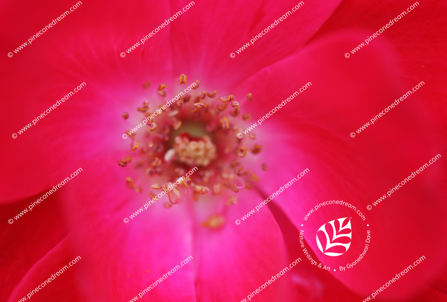 Macro close up inside of a red rose flower - Free nature stock image.