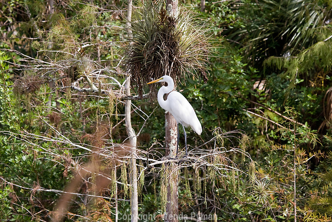 Great Egret perches among the airplants.