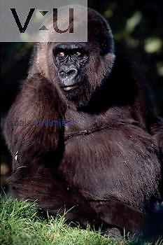 A Western Lowland Gorilla. (Gorilla gorilla gorilla)