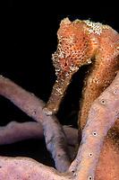 Longsnout seahorse ( Hippocampus Reidi) portrait at Cozumel Reef, caribbean sea Mexico
