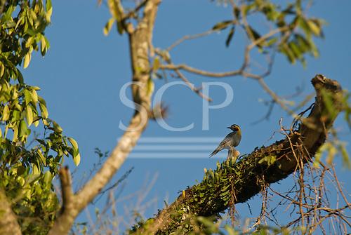 Fazenda Bauplatz, Brazil. Campo flicker woodpecker (pica-pau do  campo) (Colaptes campestris) male.