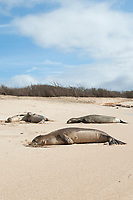 Hawaiian monk seals, Neomonachus schauinslandi, Critically Endangered endemic species, resting on beach at west end of Molokai, Hawaii; note scars on juvenile male in foreground from recent shark attack; another juvenile male in background cuddles up to a young female that is not his mother