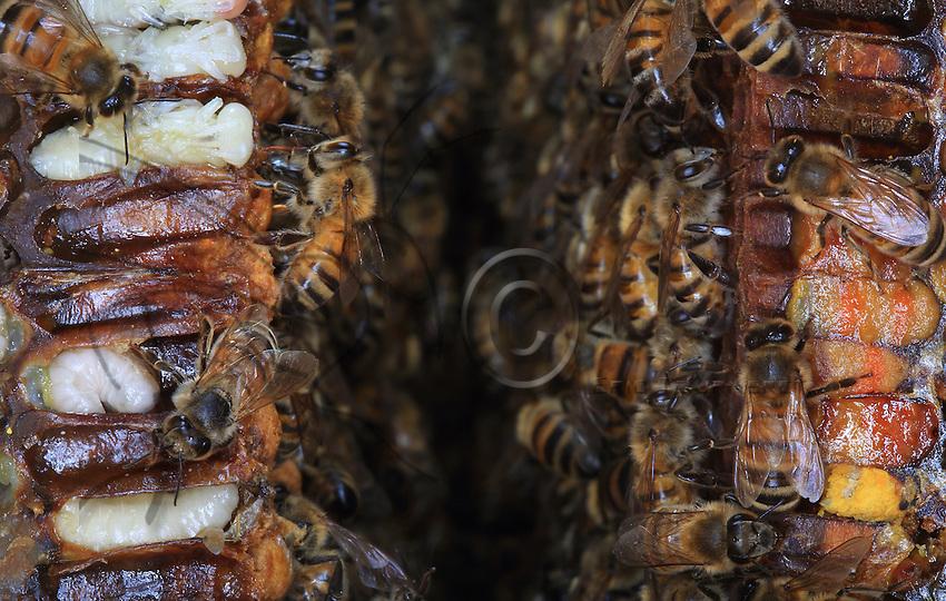 Reserves of pollen and bees between two of a hive's brood frames.///Entre deux cadres d'un ruche du couvain, des réserves de pollen et des abeilles.