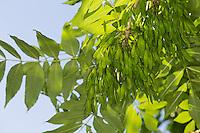 Gemeine Esche, Gewöhnliche Esche, Blätter, Blatt und unreife, grüne Frucht, Früchte, Fraxinus excelsior, Common Ash, European Ash