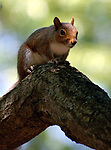 NORTH BABYLON,NY-MONDAY, JUNE 18, 2007:  Squirrel on a tree branch in Belmont Lake State Park in North Babylon on Monday June 18, 2007. Photo by Jim Peppler.