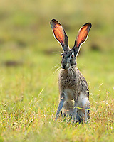 Jackrabbit from the Texas Hill Country.