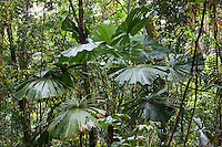 Fan palms and matchbox bean twisted vine, Daintree World Heritage Rainforest, Australia