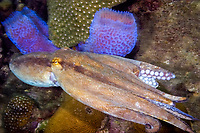 Common Octopus, Octopus vulgaris, swimming past two azure vase sponges, Callyspongia plicifera. Near enterance to admiralty bay, Bequia, St Vincent and the Grenadines, West Indies, Eastern Caribbean Sea. do, de