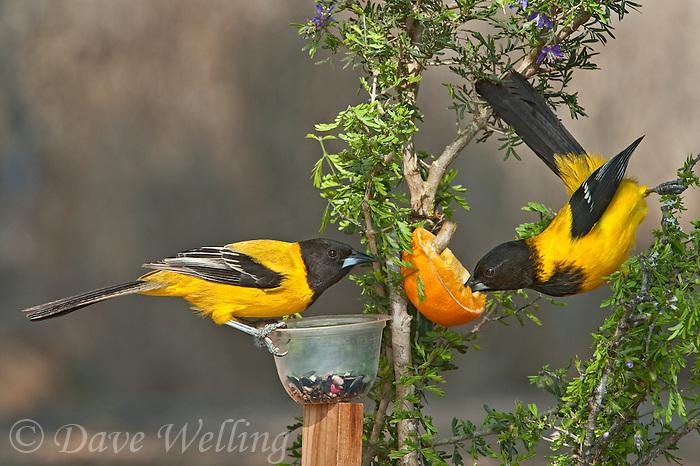 561850046 A Pair Of Wild Audubonu0027s Orioles Icterus Graduacauda At Feeder On  Santa Clara Ranch Hidalgo