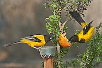 561850046 a pair of wild audubon's orioles icterus graduacauda at  feeder on santa clara ranch hidalgo county rio grande valley texas united states