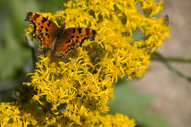 butterfly, Hoary Comma, Polygonia gracilis, wildflower, yellow, Fall River Road, subalpine, forest, summer, morning, August, Rocky Mountain National Park, Colorado, USA