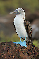 Blue-footed Booby (Sula nebouxii),<br /> Post Office Bay, Champion island, Galapagos, Ecuador