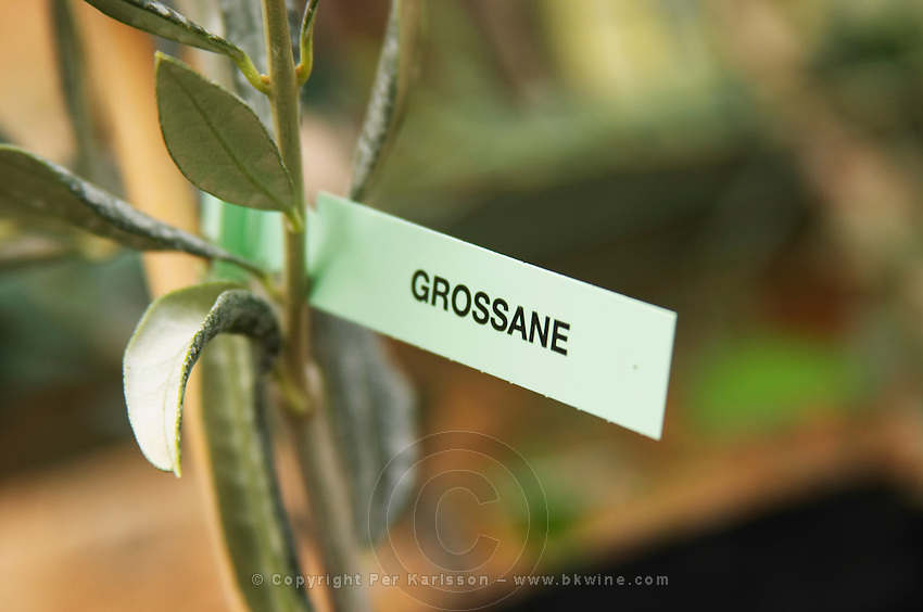 Close up on a small olive tree plant marked with a label with the variety Grossane. Moulin Mas des Barres olive mill, Maussanes les Alpilles, Bouches du Rhone, Provence, France, Europe