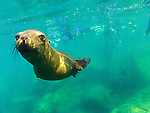 Snorkeling with California Sea Lions at Los Islotes in Baja California Mexico