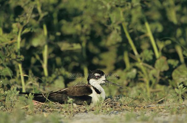 Black-necked Stilt, Himantopus mexicanus, adult on nest incubating eggs, Welder Wildlife Refuge, Sinton, Texas, USA