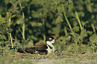 Black-necked Stilt, Himantopus mexicanus, adult on nest incubating eggs, Welder Wildlife Refuge, Sinton, Texas, USA