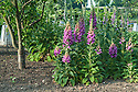 Foxgloves (Digitalis purpurea) on neighbourhood allotment site, late May.