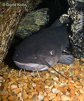 1123-1003  White Catfish (White Bullhead) Resting Under Log, Ameiurus catus (syn. Ictalurus catus)  © David Kuhn/Dwight Kuhn Photography