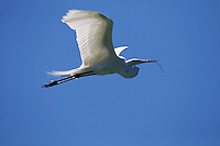 A Great egret (Casmerodius albus) in flight, carrying material for building a nest.
