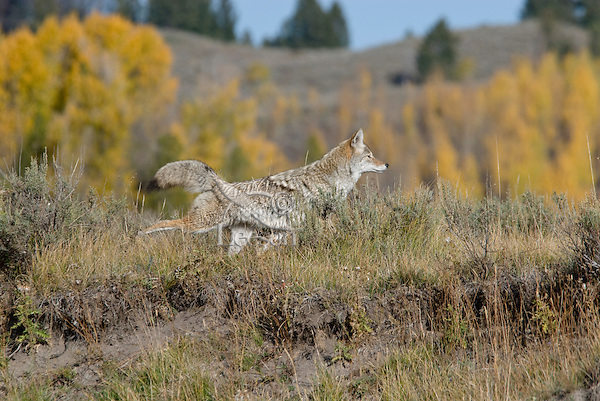 Coyote (Canis latrans) kicking, scratching dirt with hind legs after marking (urinating) territory.
