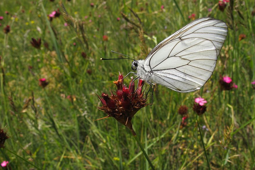 Black-veined White butterfly, Aporia crataegi, on Carthusian Pink,  Dianthus carthusianorum, Mountain pasture, Mount Baba (1635 m) in Galicica National Park, Macedonia, <br /> Stenje region, Lake Macro Prespa (850m) <br /> Galicica National Park, Macedonia, June 2009<br /> Mission: Macedonia, Lake Macro Prespa /  Lake Ohrid, Transnational Park<br /> David Maitland / Wild Wonders of Europe