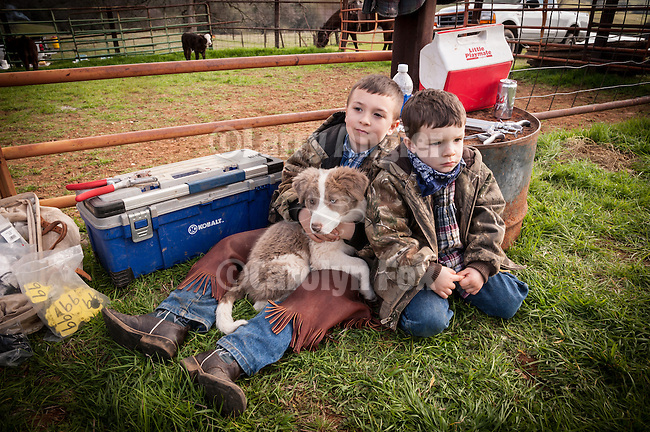 Cowboys at the Dell'Orto pasture near Sunnybrook, Calif. spring cattle marking and branding..Two boys with a cow dog puppy