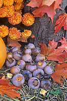 American Persimmon fruits gathered in the fall with autumn flowers and leaves (Diospyros virginiana).