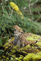 Ruffed Grouse drumming (spring mating-territorial display), Pacific Northwest.