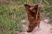 A bear pauses to scratch where it itches, using a tree in its expansive habitat at the Wild Animal Sanctuary north of Denver, Colorado.