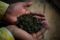 Makaibari's First Flush tea, dried and ready to be packed.