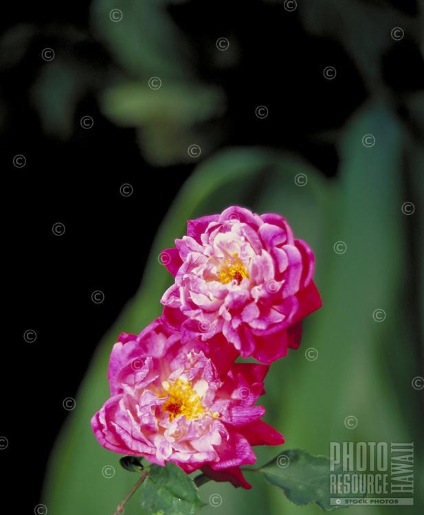 Lokelani rose, Maui island flower