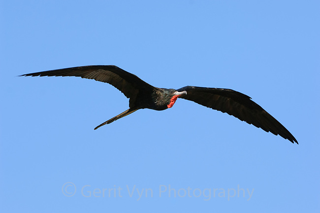 Adult male Magnificent Frigatebird (Fregata magnificens) in flight. Dry Tortugas NP, Florida. March.