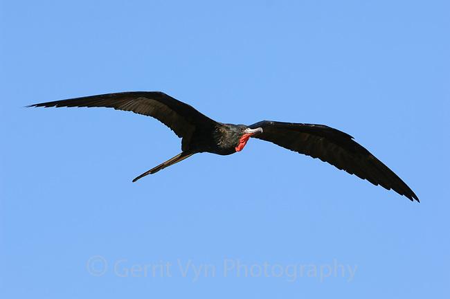 Adult male Magnificent Frigatebird (Fregata magnificens) in flight. Dry Tortugas NP, Florida. March.