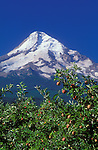 Apples on tree with peak of Mount Hood behind; .Mt. Hood Organic Farms, Hood River Valley, Oregon.  .#2370-1815
