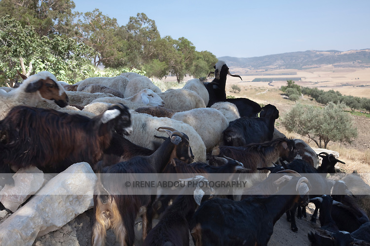 A flock of goats and sheep look out at the fields below the ancient Roman site of Dougga in Tunisia.