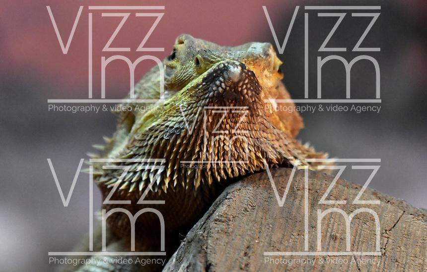 CALI - COLOMBIA - 27 - 09 - 2017: Dragon Barbudo (Pogona vitticeps) especie de saurópsido escamoso originario de Australia, en el Zoologico de Cali, en el Departamento del Valle del Cauca.  / Dragon Barbudo (Pogona vitticeps) A species of squamous sauropod originating in Australia, at the Cali Zoo, in the Department of Valle del Cauca. / Photo: VizzorImage / Luis Ramirez / Staff.