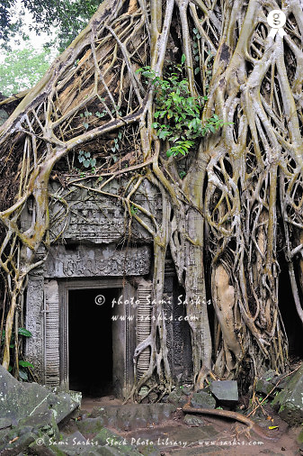 Strangler fig (Ficus sp.) root covering temple (Licence this image exclusively with Getty: http://www.gettyimages.com/detail/83154236 )