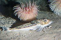 Grauer Knurrhahn, Eutrigla gurnardus, Trigla gurnardus, European gray gurnard, Grey gurnard